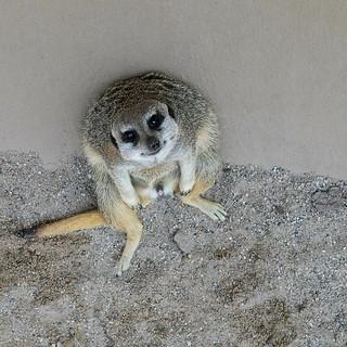 Meerkat   by thart2009