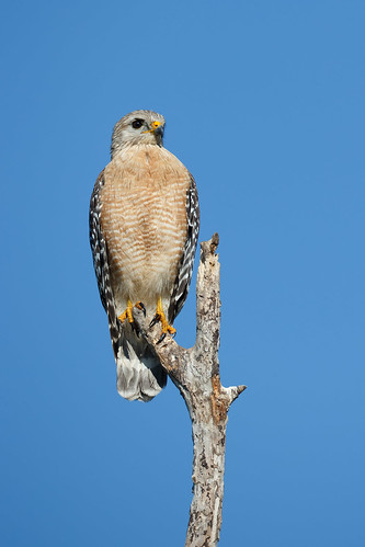 Red Shouldered Hawk | by Rob & Amy Lavoie