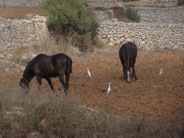 Horse Egrets