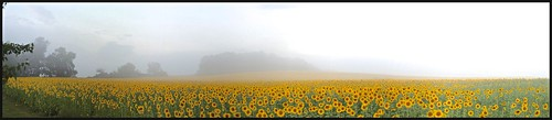 autostitch fog panoramic sunflowers ios pixlromatic