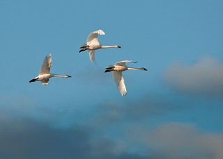 Tundra Swans | by Mind on Fire Photography