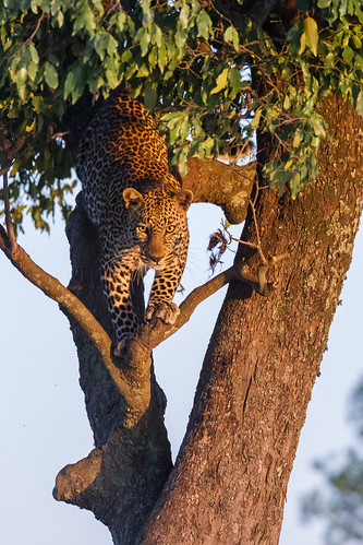 africa olareorokconservancy kenya wildlife kicheche olare masaimara narokcounty ke pantherapardus gettyimages