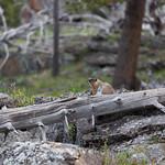 Marmot near Old Faithful