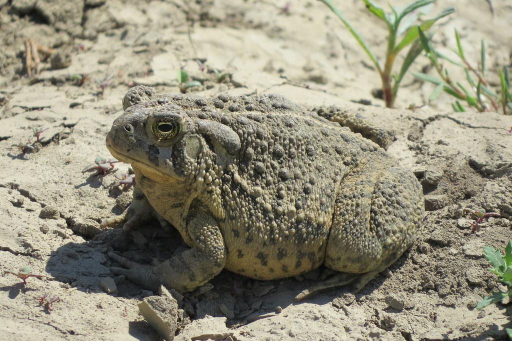 Big ol' toad