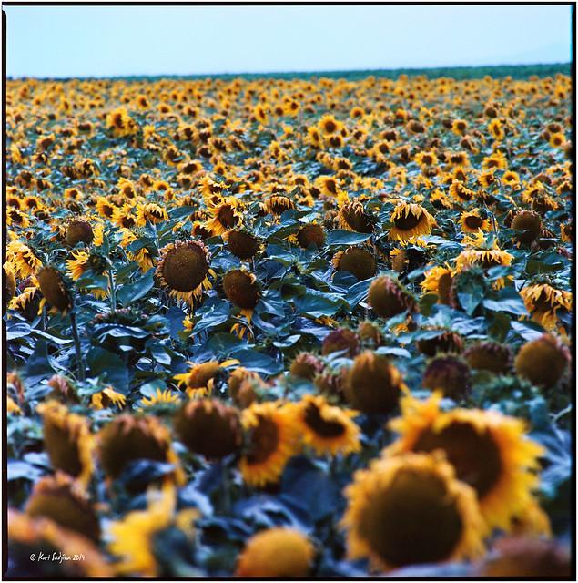Sonnenblumen_Hasselblad