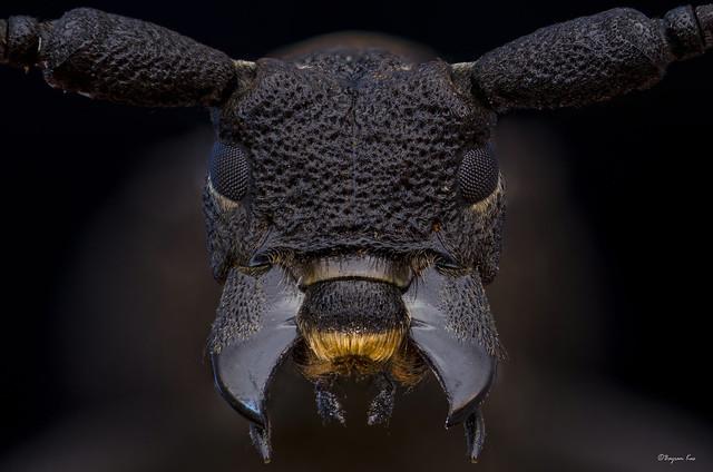 A Longhorn Portrait (Open jaws)