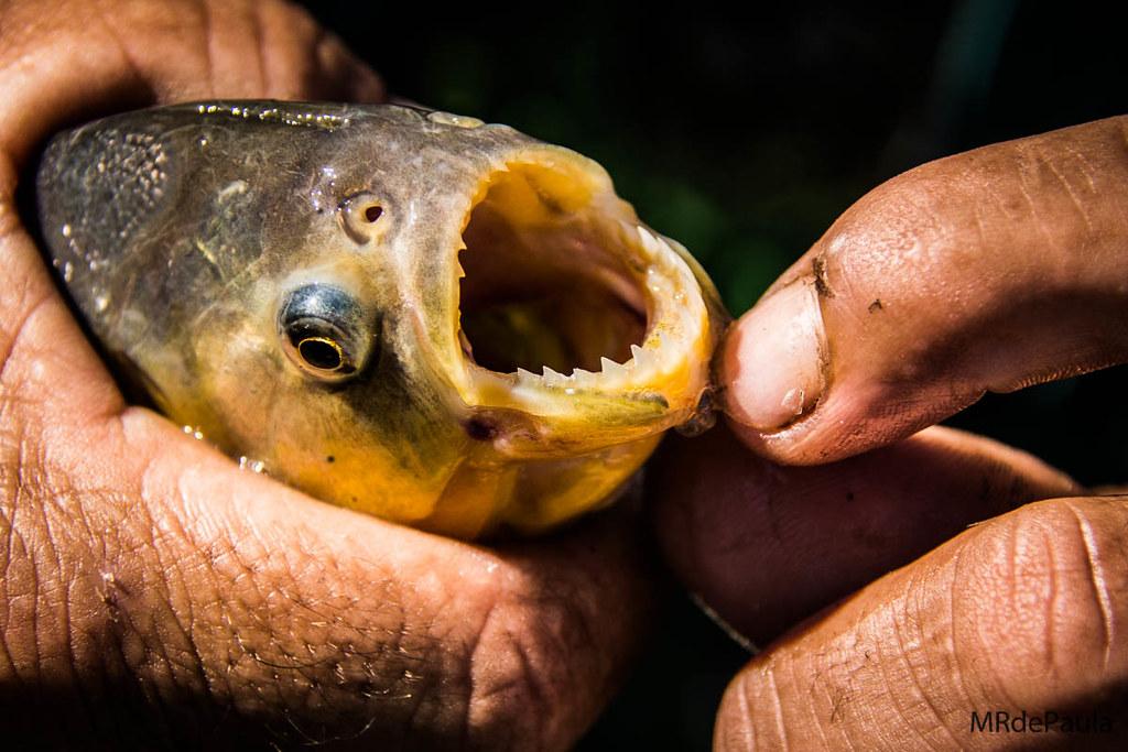 Piranha...