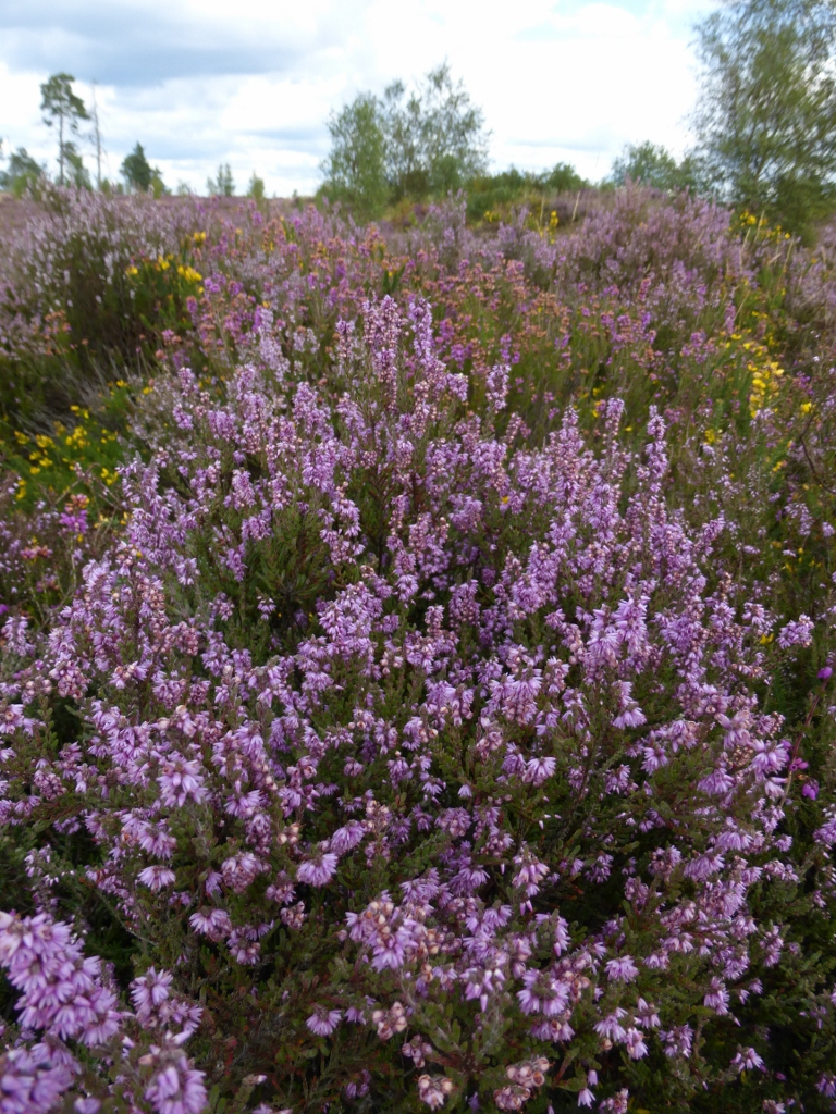 Thorsley Common heather Milford to Haslemere walk