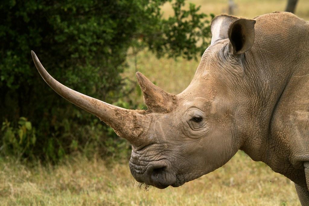 White rhino, close-up