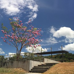 Feeling the spring spirit from #Panama #ciudaddelsaber #clayton #treeblossoms #polarized