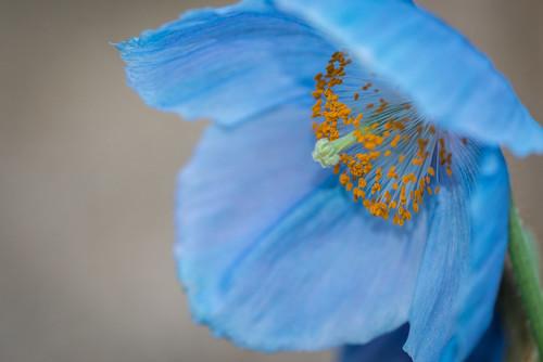 macro bluepoppy longwoodgardens rareflower poppy beauty flower longwood flora himalayanbluepoppy kennettsquare pennsylvania unitedstates us nikon d800e