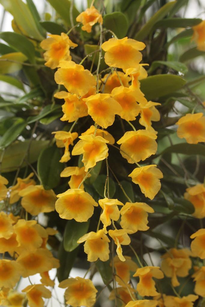 Lindley's dendrobium - Dendrobium lindleyi