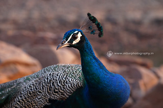 Portrait of a Peacock | by Akbar - Web Designer and Freelance Photographer