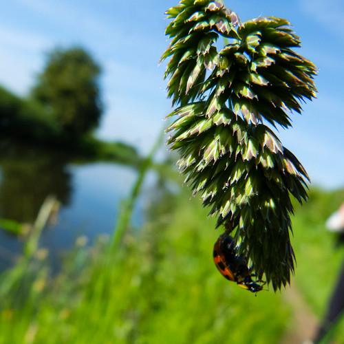 Ladybird on a grass seed head
