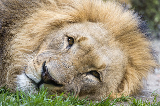 Tired lion dad | by Tambako the Jaguar