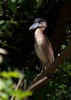 Boat-Billed Heron (Cochlearius cochlearius) by SpyderCam