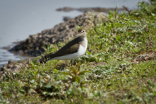 Common Sandpiper 003