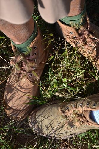 Setaria verticillata, S. viridis, S. pumila - les sétaires 32859769730_1d7c22b4ac