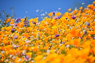 Desert Wildflower Super Bloom   by Rob.Bertholf