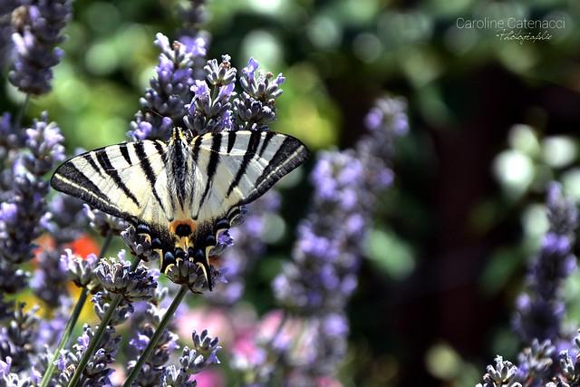 Scarce swallowtail - Papillon flambé