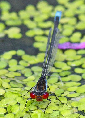 Small Red-eyed Damselfly (Erythromma viridulum), by Peter Alfrey | by Beddington Farmlands