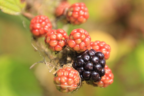 nature fruit flora explore bramble speyside 120914