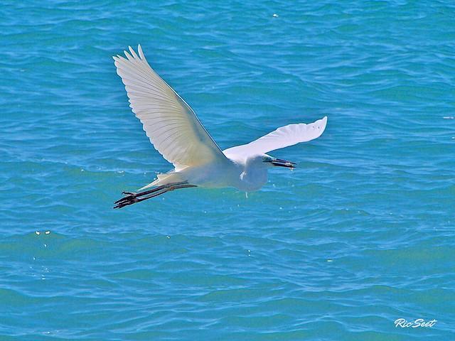 BIF: Snowy Egrets