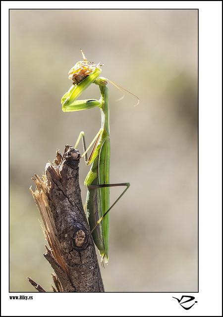 :: Mantis ::