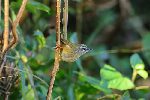 黑喉山鷦鶯 Black-throated prinia | by Hiyashi Haka