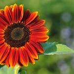 Burnt Sunflower