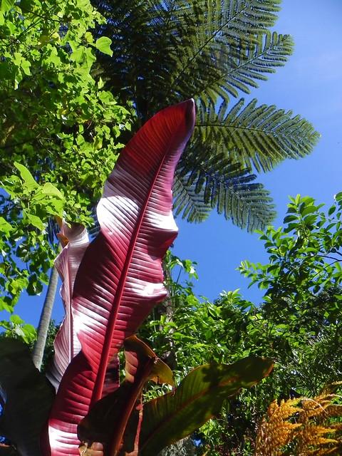 Heliconia gloriosa