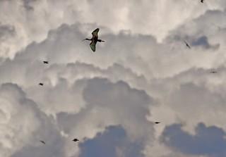 Glossy Ibis (Plegadis falcinellus), 7 August 2014, by Peter Alfrey | by Beddington Farmlands