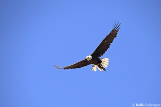 Bald Eagle With Trout, Eastern Sierra, California