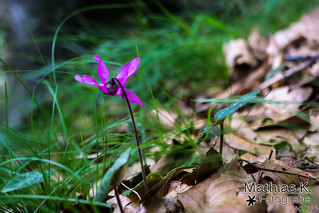 Lila Blume | Projekt 365 | Tag 240