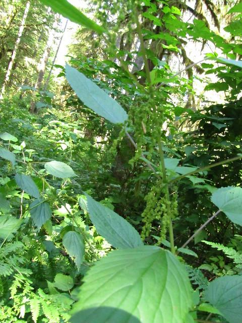 Stinging Nettle - Urtica dioica