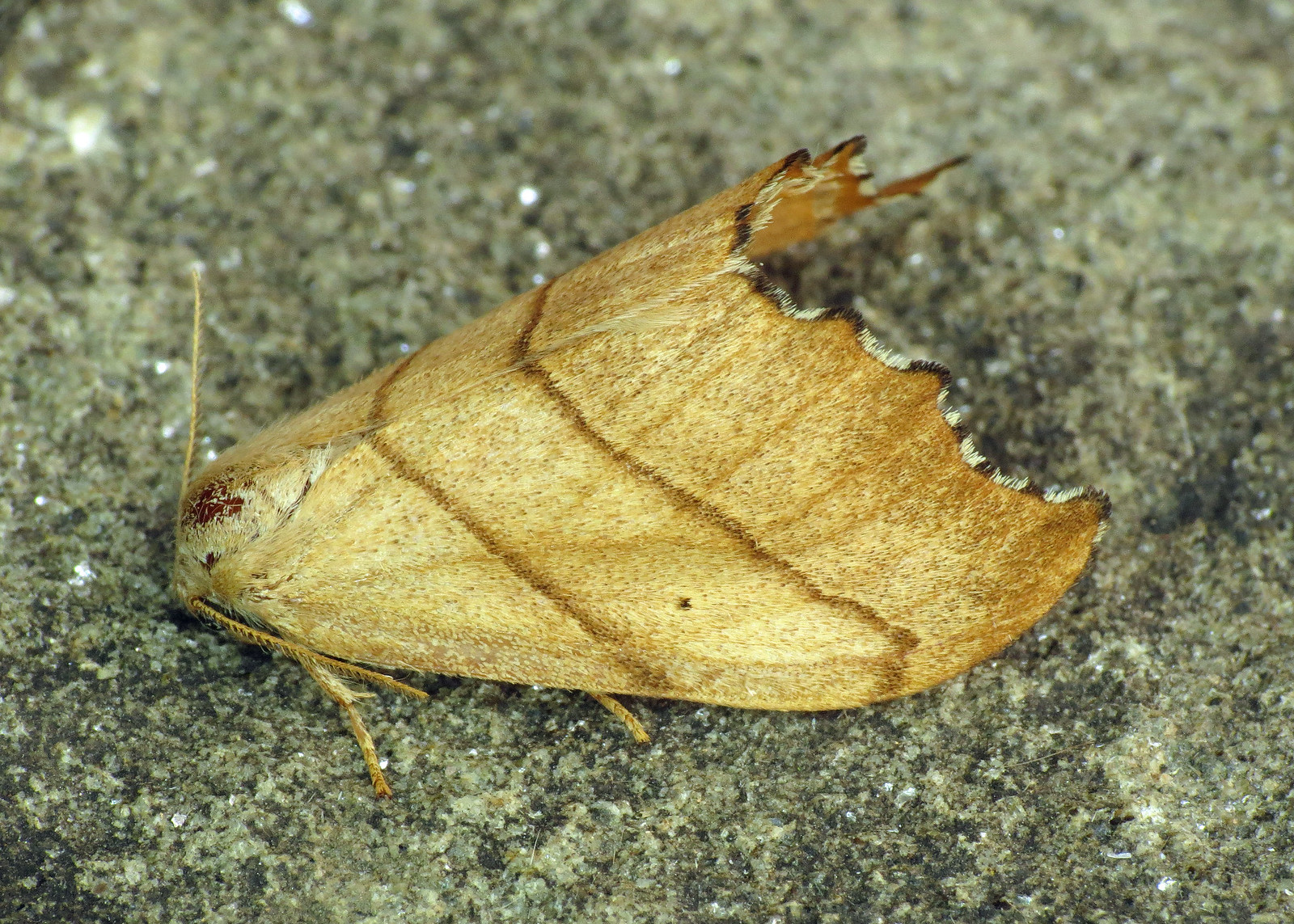 1645 Scalloped Hook-tip - Falcaria lacertinaria