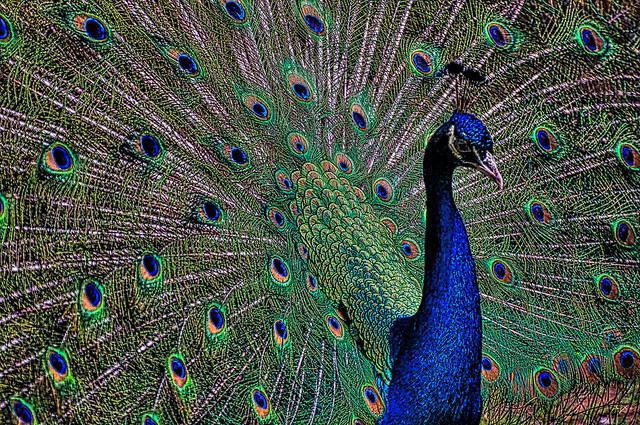 Peacock_9054