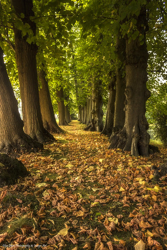 uk trees tree leaves wales north cymru historic foliage bark trunk avenue autumnal erddig