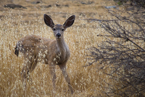 Black tail deer | by Eastbaygirl925