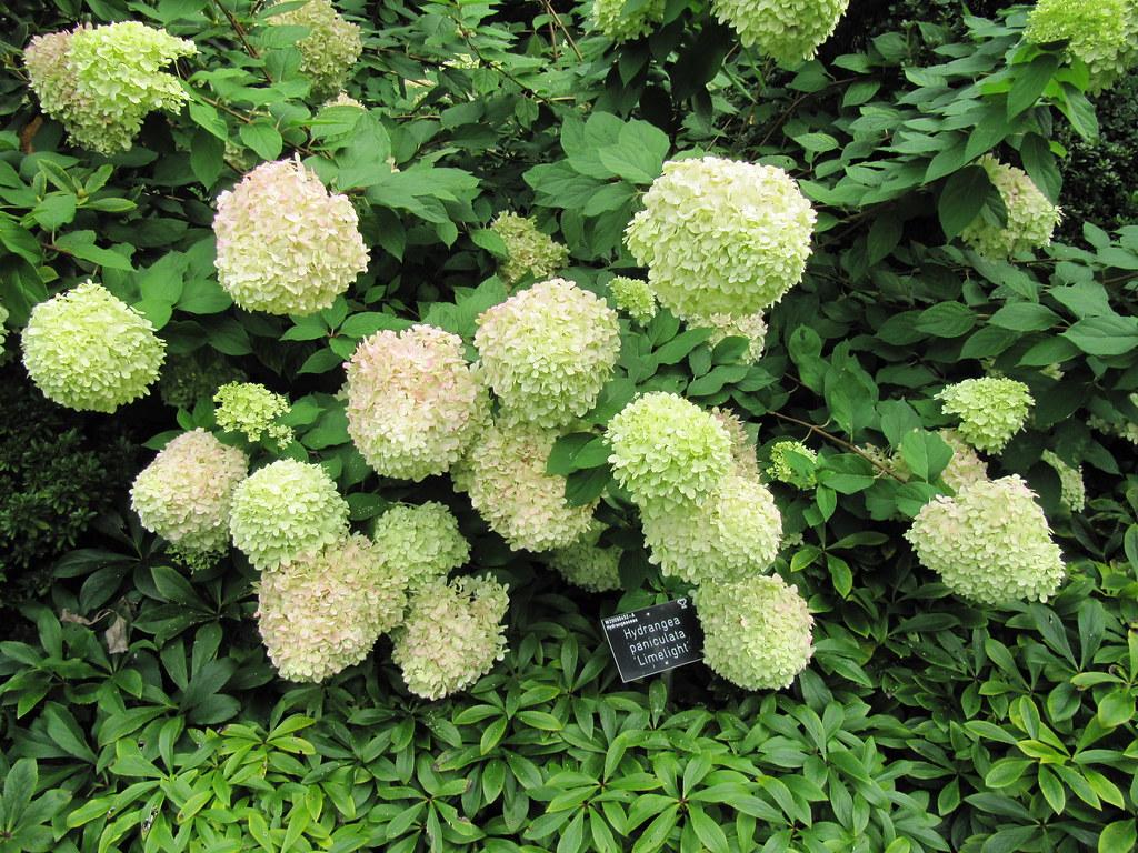 Hydrangea paniculata 'Limelight' | RHS Wisley Gardens in Sur… | Flickr