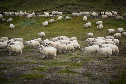 Sheep gathering in Vogar Iceland   by AdalsteinnSvanHjelm