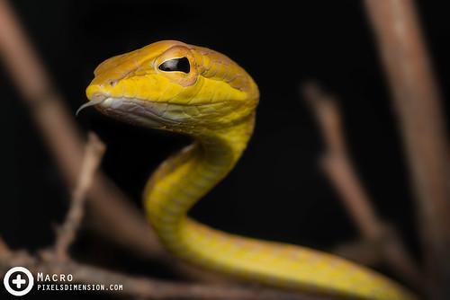 Oriental vine snake- Ahaetulla prasina | by PF T.J.
