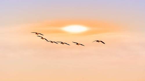 clouds geese sun wervershoof noordholland nederland nl bird flying nature animal sky wildlife sunset seagull outdoors sea animalsinthewild animalwing summer blue beautyinnature sunlight flockofbirds backgrounds groupofanimals sunrisedawn