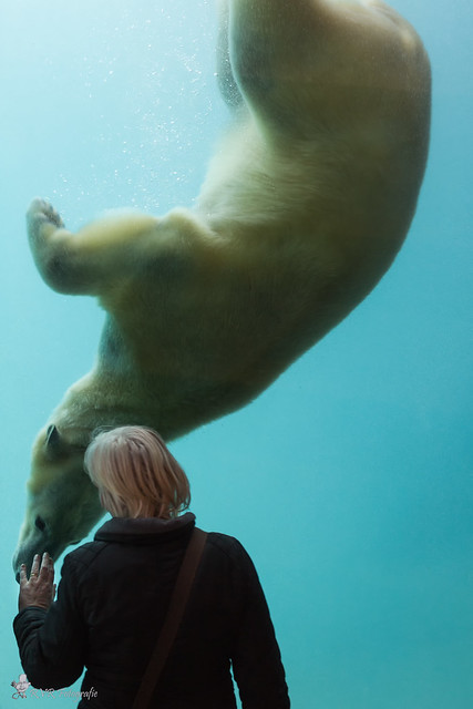 Polar Bear under water.