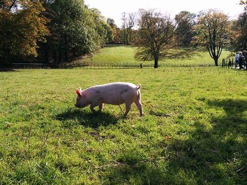 Pig   by Dean Sas