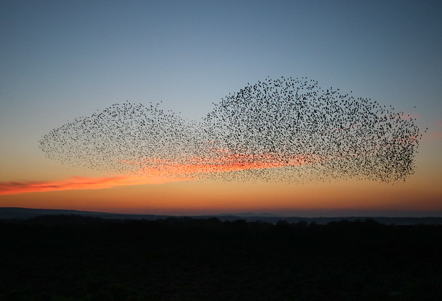 Studland starlings murmuration