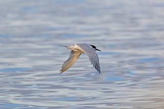 Roseate Tern, Masoala, Madagascar