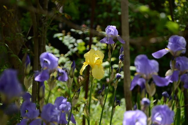 Floraisons 2016 de nos grands iris barbus et Bilan 32371090282_c239505f33_z