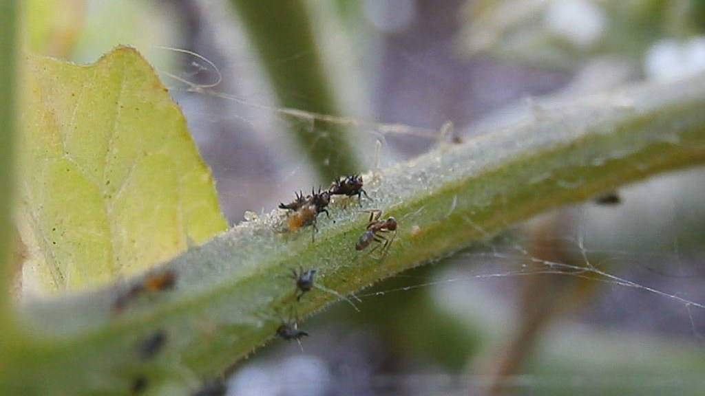 Argentine ants (Linepithema humile) farming aphids   Flickr