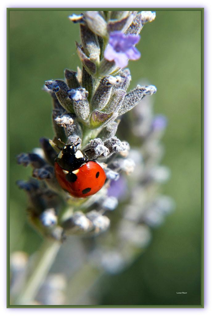 Ladybug Favolosa Coccinella